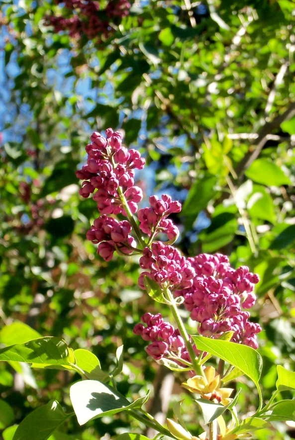 Lilac's blooming