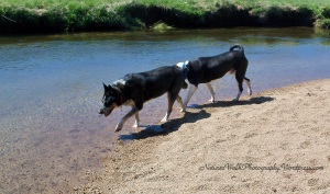 2 dogs enjoying the river on a Spring Day