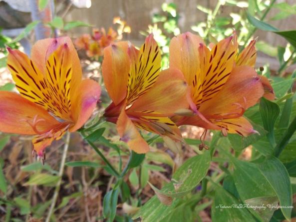 Orange Astroemeria Flowers