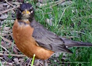 Robin(bird)