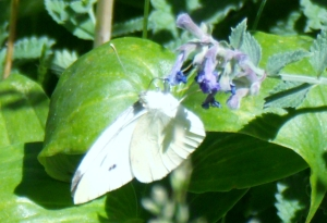 White Butterfly on Purple Flower #2