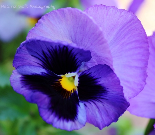Pansy Angel