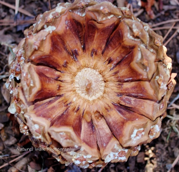 The layers of a Pinecone