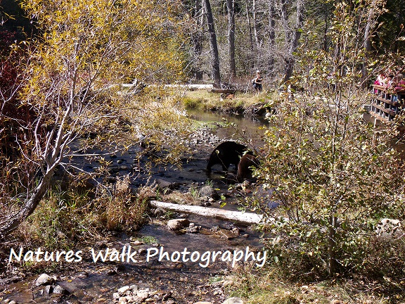 Bears at Taylor Creek